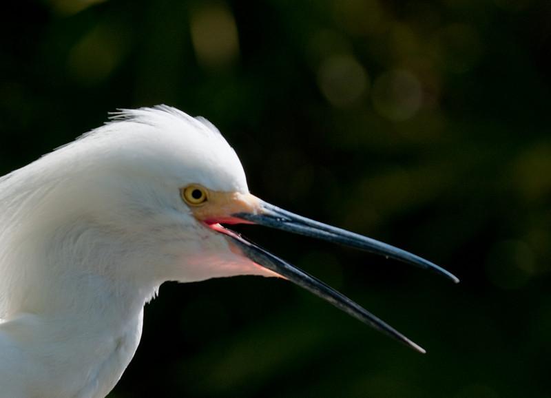 Snowy Egret - Nice looking back lighting