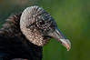 Black Vulture - Only a mother could love this face