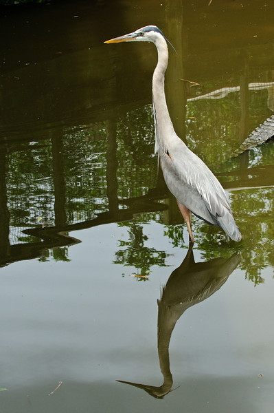 Great Blue Heron - See my reflection