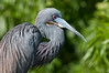 Tricolored Heron - Look what I can do with my neck