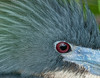 Tricolored Heron - up close!