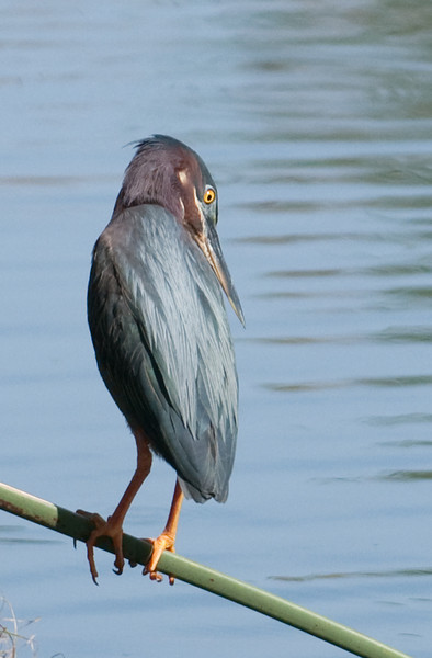 Green Heron - I can see that fish down there