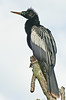 Anhinga - See my green stuff around my eye
