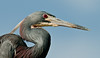 Tricolored Heron - Nice looking eye