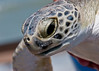 Green Turtle - How do you like me close-up?