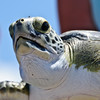 Green Turtle - Come-on I can't wait to get back to my home