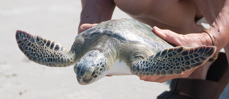 Green Turtle - I'm really getting excited on getting released to the ocean
