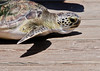 Green Turtle - On the move