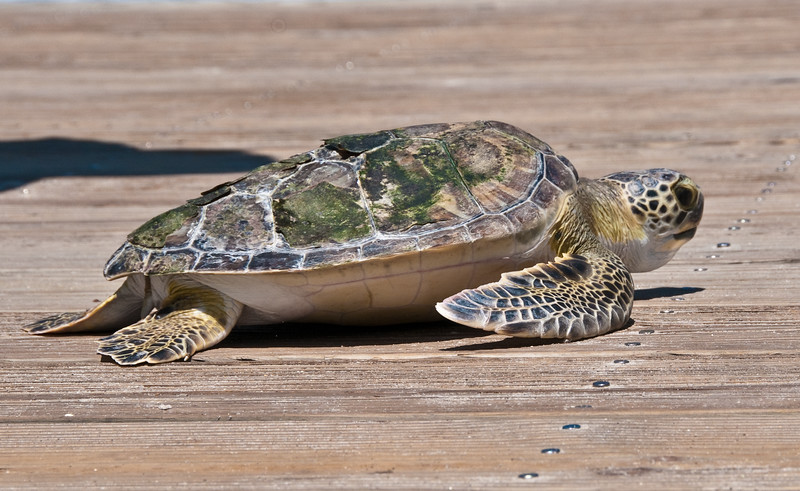 Green Turtle - Trying to head back to the ocean