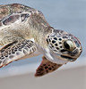 Green Turtle - I'm  only a few feet from the ocean, so please let me go