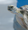 Green Turtle - Please let me go!