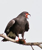 Male Snail Kite - No enhancements