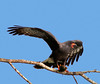 Male Snail Kite - Post processed which I added a sky