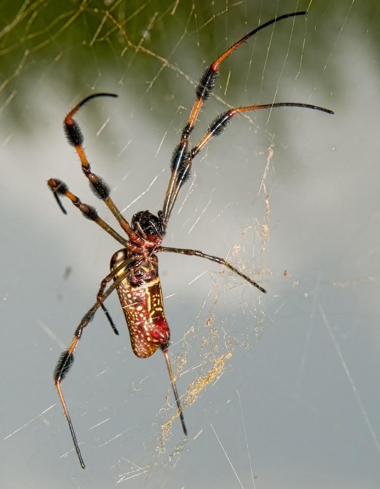 Golden-Silk Spider (Nephila clavipes)