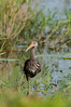 Limpkin at the Lake Jackson boat ramp