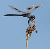 Four-spotted pennant Dragonfly taken at Lake Jackson - After some Photoshop enhancements - After some Photoshop enhancements