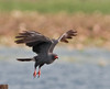 Male Snail Kite in Flight