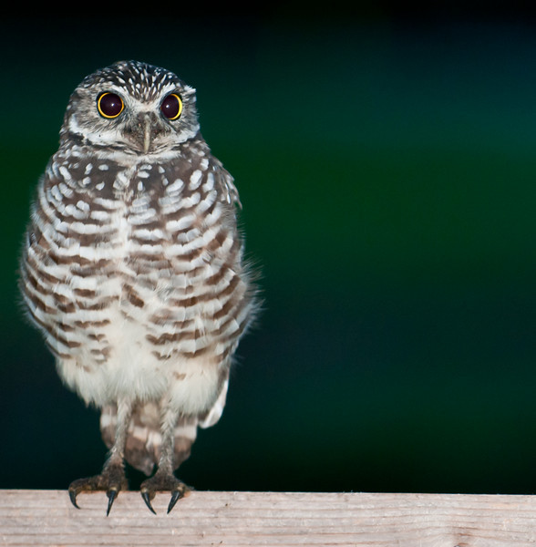 These photos of the Burrowing Owl were taken at the Intersection of Hypoluxo Road and Hagen Ranch Road in Lake Worth - These photos were taken just before sunrise and I used external flash.
