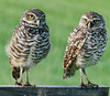 These photos of the Burrowing Owl were taken at the Intersection of Hypoluxo Road and Hagen Ranch Road in Lake Worth - These photos were taken after sunrise