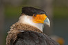 11th Annual Everglades at Day at Loxahatcheee National Wildlife Refuge bird display - Crested Caracara