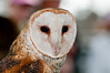 11th Annual Everglades at Day at Loxahatcheee National Wildlife Refuge bird display - Barn Owl