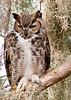 Great Horned Owl taken at Loxahatcheee National Wildlife Refuge