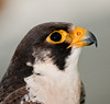 11th Annual Everglades at Day at Loxahatcheee National Wildlife Refuge bird display - Peregrine Falcon