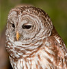 11th Annual Everglades at Day at Loxahatcheee National Wildlife Refuge bird display - Barred Owl