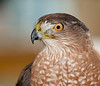 11th Annual Everglades at Day at Loxahatcheee National Wildlife Refuge bird display - Cooper's Hawk