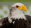 11th Annual Everglades at Day at Loxahatcheee National Wildlife Refuge bird display - Bald Eagle