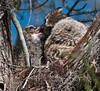 Mother Great Horn Owl feeding her babies