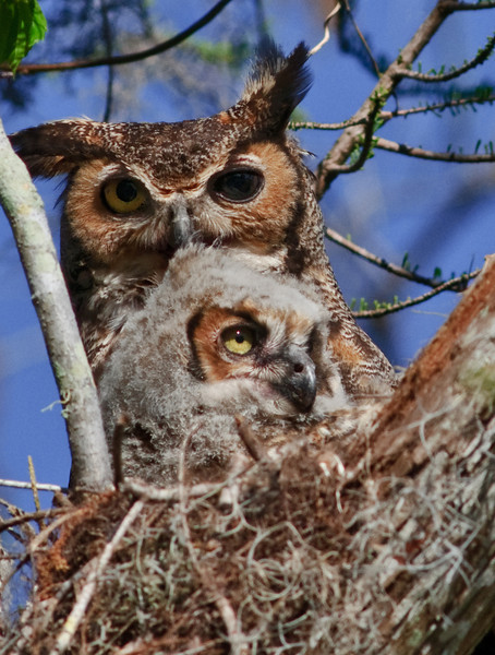 Mother Great Horn Owl with one of her babies