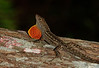 Brown Anole Lizard