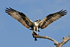 Osprey coming in for landing with a fish