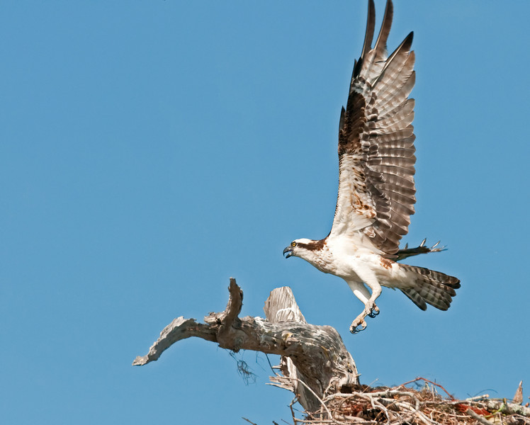 Osprey coming in for landing