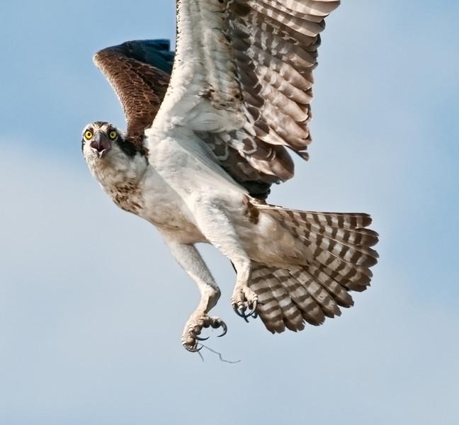 Osprey - I have my eyes on you!