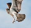 Osprey - I have my eyes on you!