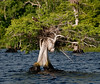 Cypress Tree with an Osprey's nest on top of it