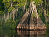 Middleton's Fish Camp - Cypress Tree Trunk base