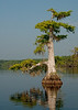 Middleton's Fish Camp - This is nature's way of making a Bonsai from Cypress Trees