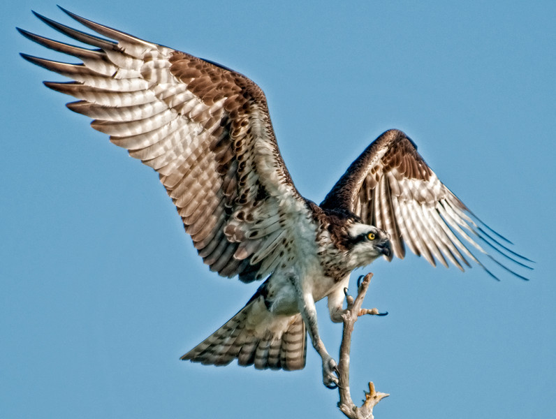 It's really amazing the Osprey can land on this small tree limb.