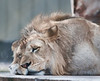 Naples Zoo - Female African Lion