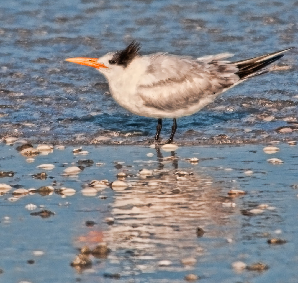 Gulf of Mexico Beach - Royal Tern
