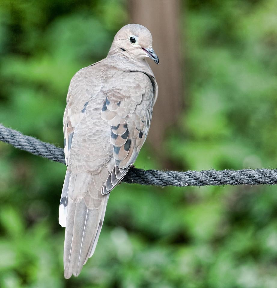 Naples Zoo - Mourning Dove