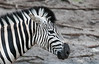 Naples Zoo - Damarar Zebra