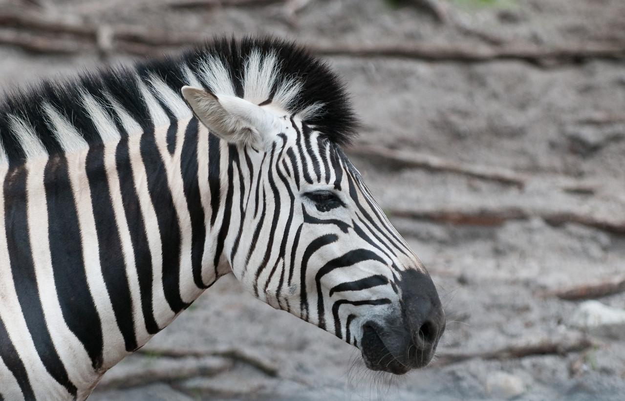 Naples Zoo - Damarar Zebra