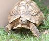 Naples Zoo - Leopard Tortoise