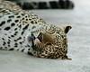 Naples Zoo - Leopard