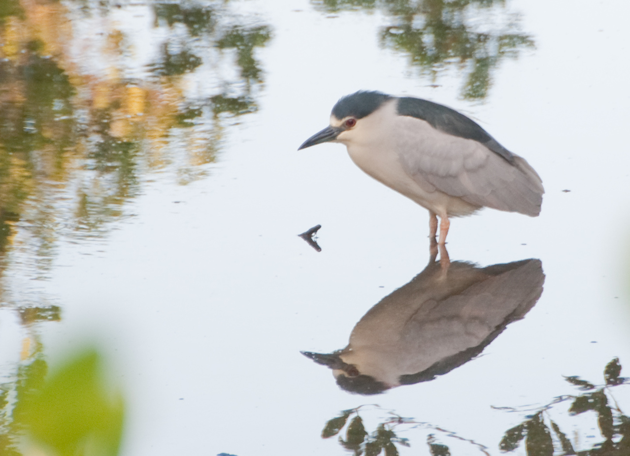 Boardwalk swamp walk to the Gulf of Mexico Beach - Black-crowned Night-Heron
