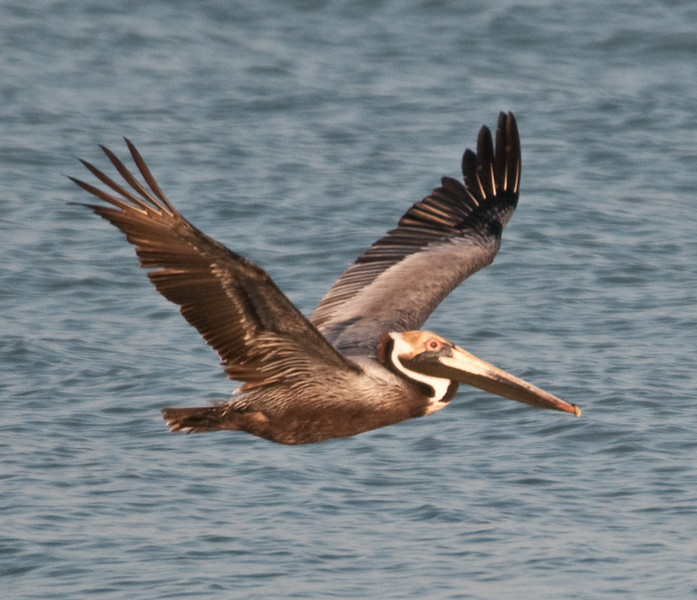 Gulf of Mexico Beach - Brown Pelican in flight